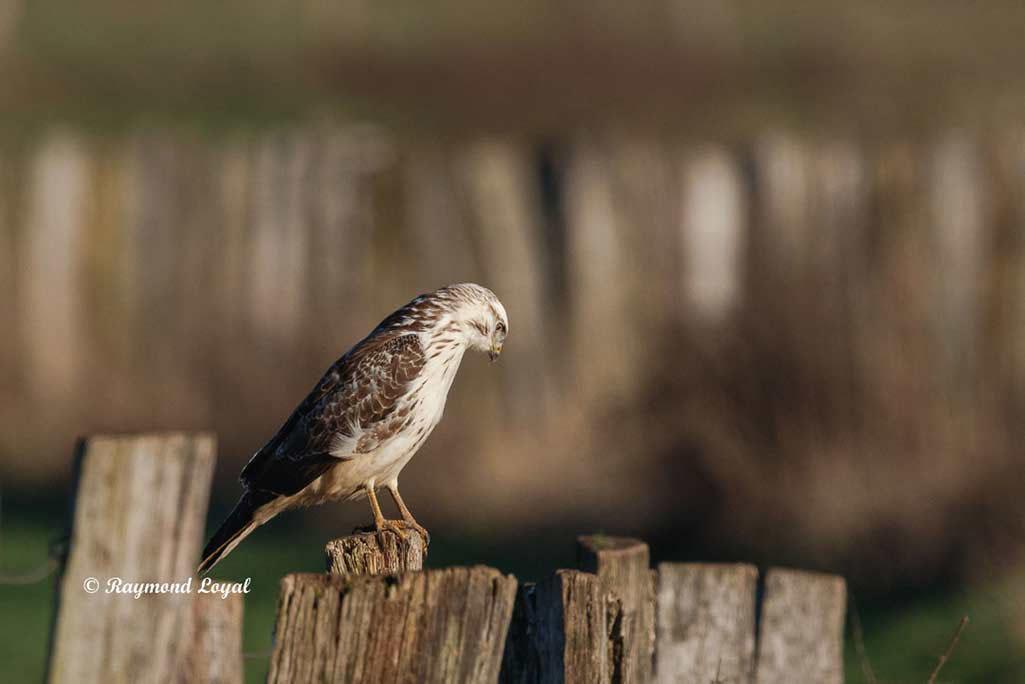 maeusebussard greifvogel vogel sitzen zaun pfahl