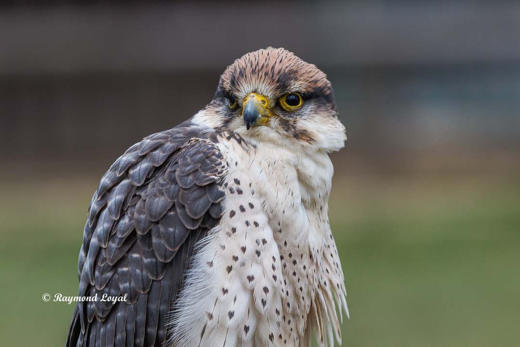 lannerfalke vogel portrait