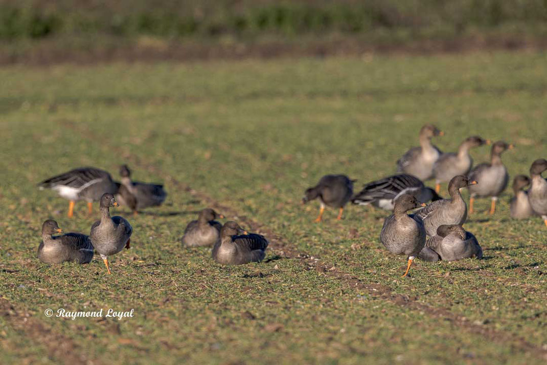 pink-footed goose on arable land