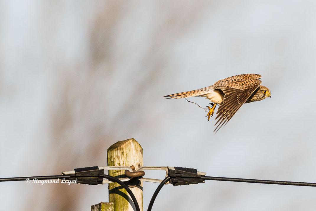 turmfalke falke vogel flug