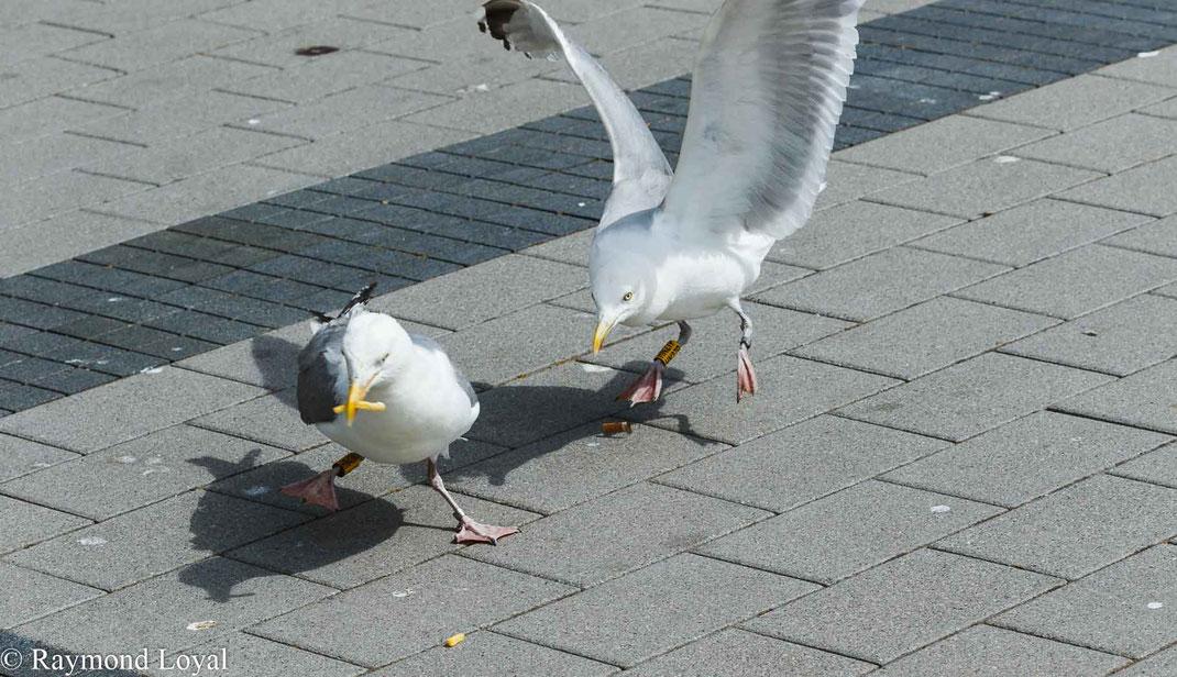 silbermoewe vogel