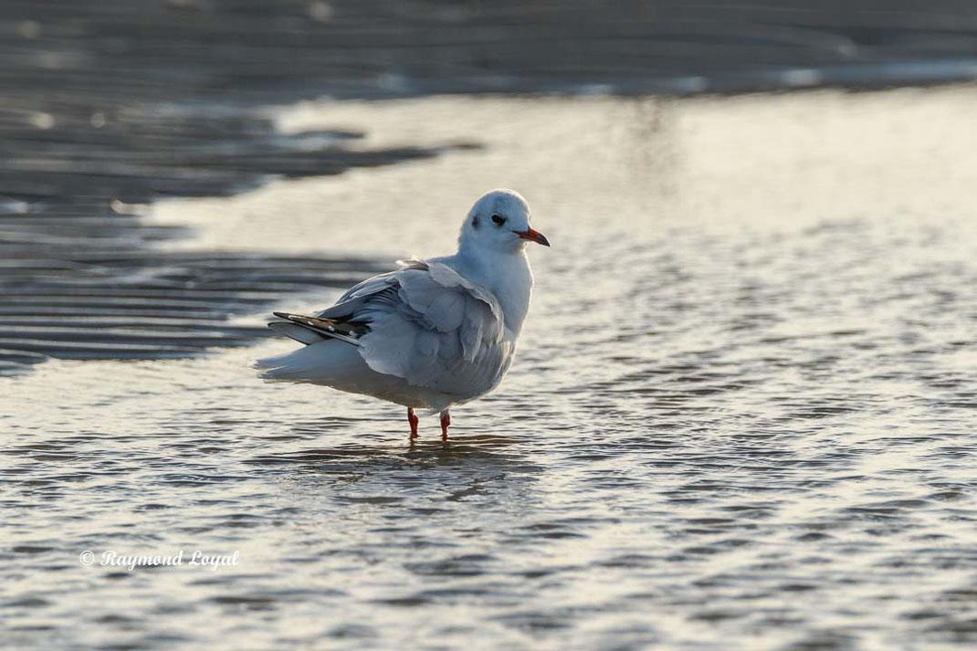 lachmoewe vogel stehen wasser