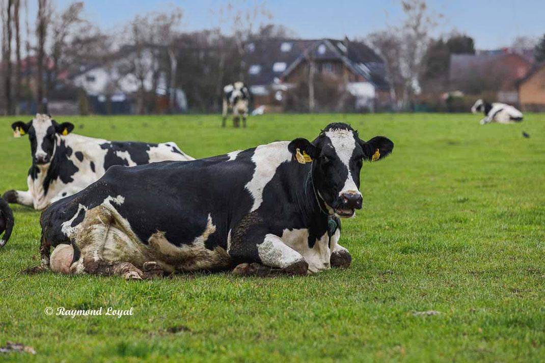 schwarzbunte kuh rinderrasse