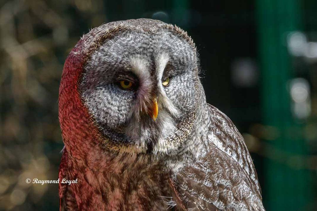 bartkauz vogel portrait greifvogelstation hellenthal