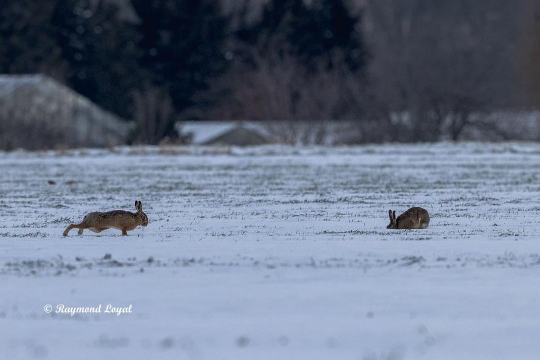 european hares on snow field