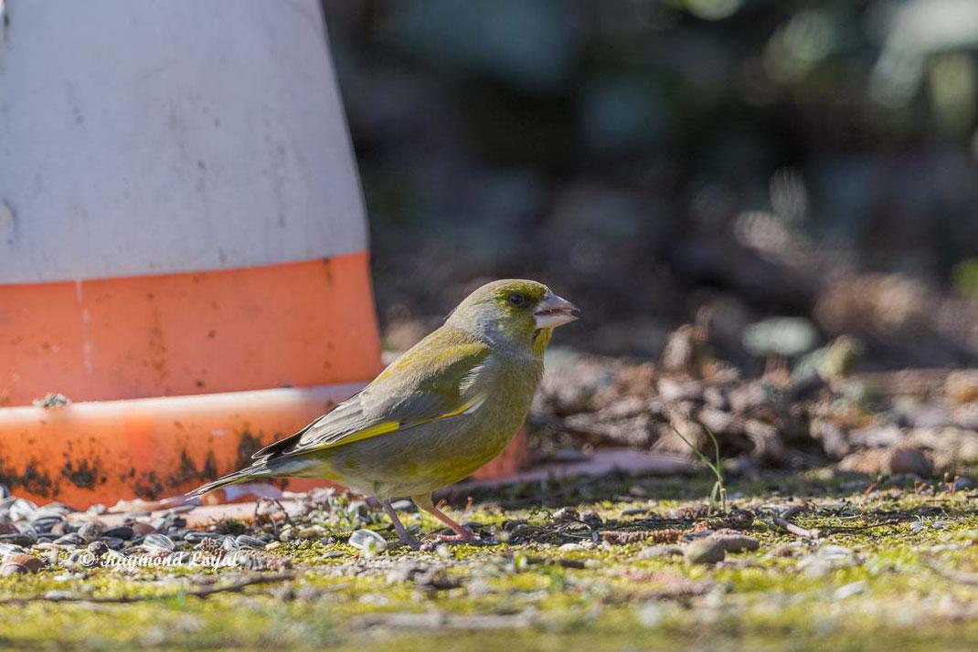 gruenfink sitzend
