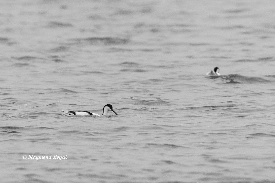 saebelschnaebler vogel wasser schwimmen