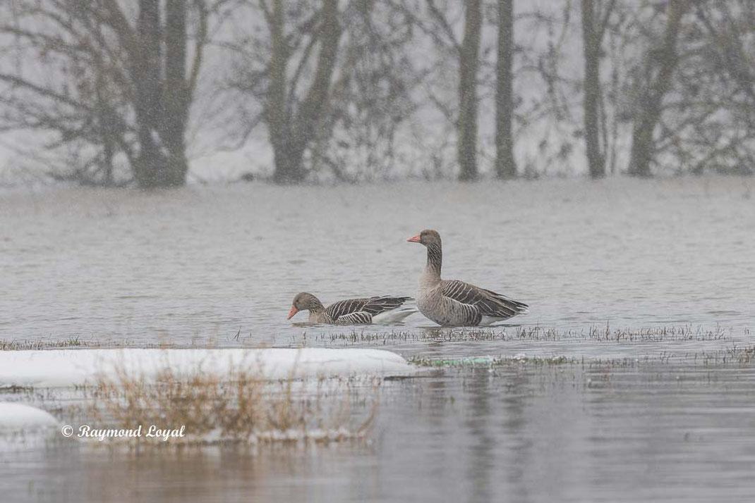 greylag goose anser anser in water