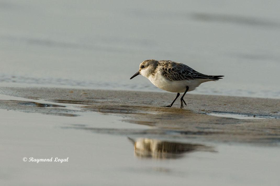 sanderling watvogel vogel gehen sand spiegelung