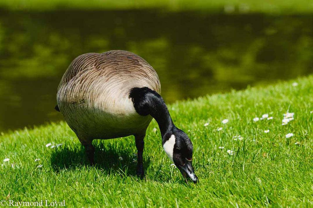 canada goose branta canadensis bird feeding green grass