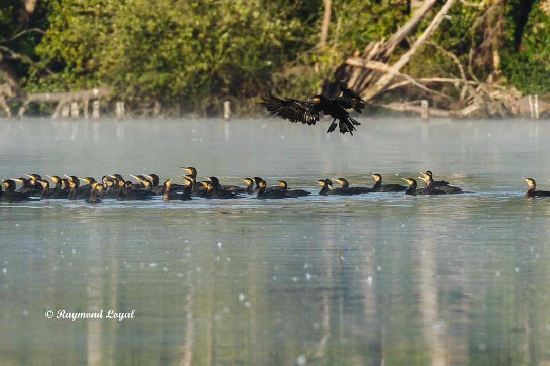 kormoran vogel see