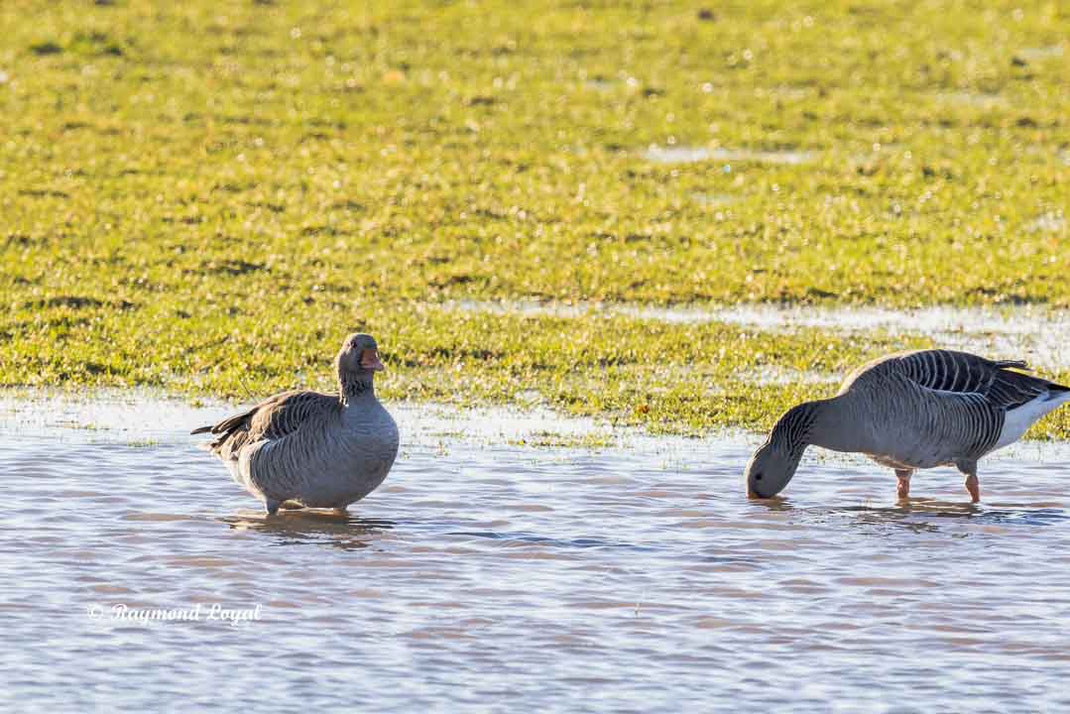 greylag goose standing in water
