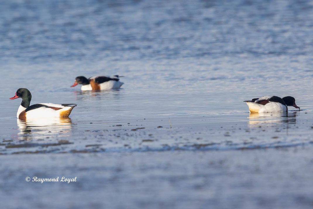 common shelduck in water