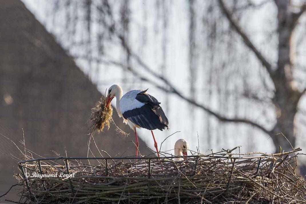 weisstorch mit nistmaterial am nest