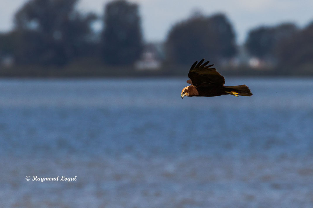 Marsh harrier Circus aeruginosus