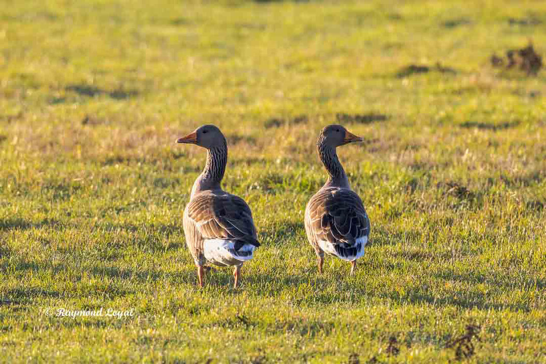 greylag goose couple on greenlands