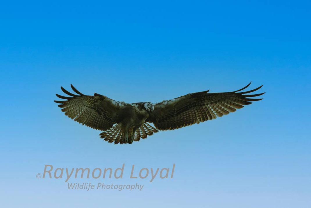fischadler vogel portrait