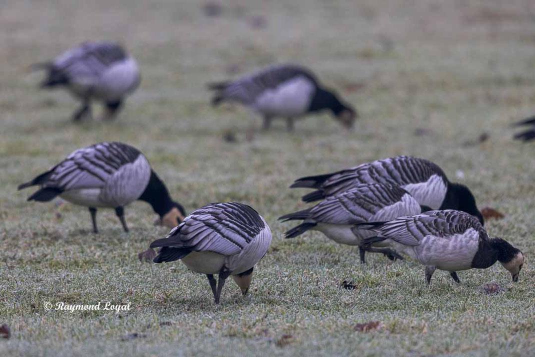 weisswangengans vogel wiese fressen