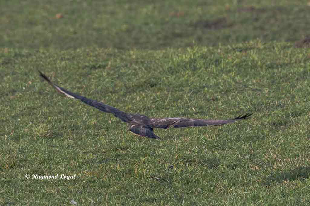 maeusebussard vogel flug wiese