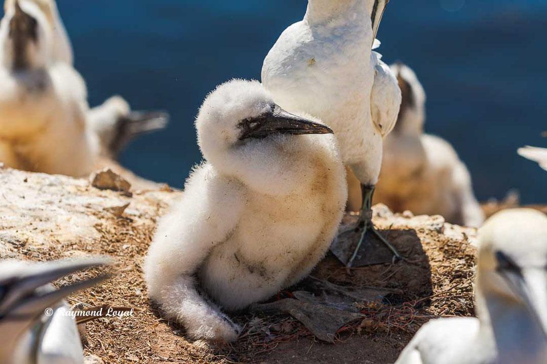 basstölpel jungvogel