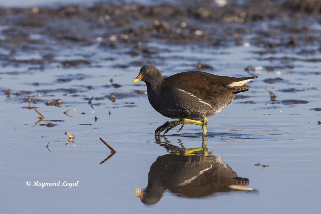 teichralle vogel wasser