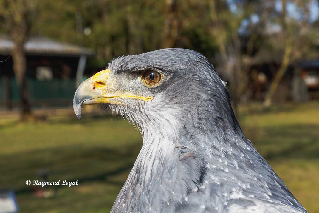 blaubussard kordillerenadler vogel portrait