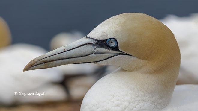 gannet morus bassanus wildlife photography