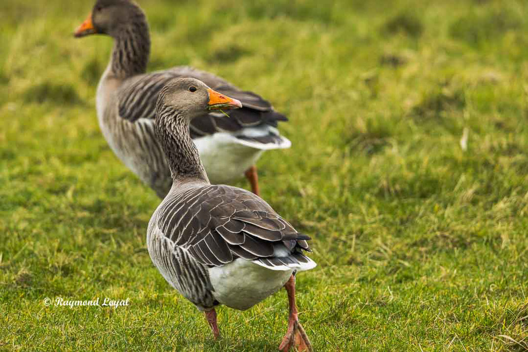 greylag goose anser anser birds on greenlands