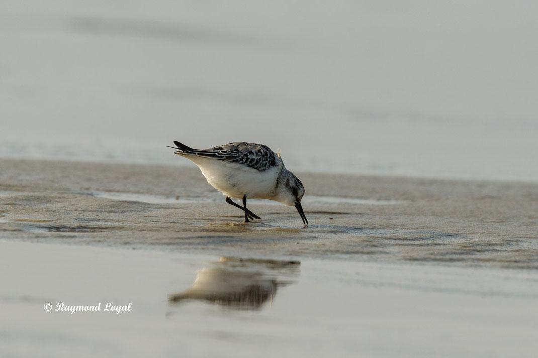 sanderling watvogel vogel gehen sand wasser spiegelung