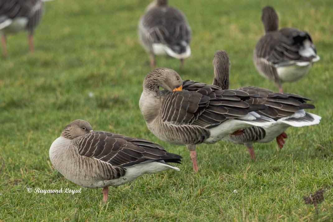 greylag geese anser anser birds resting on greenlands