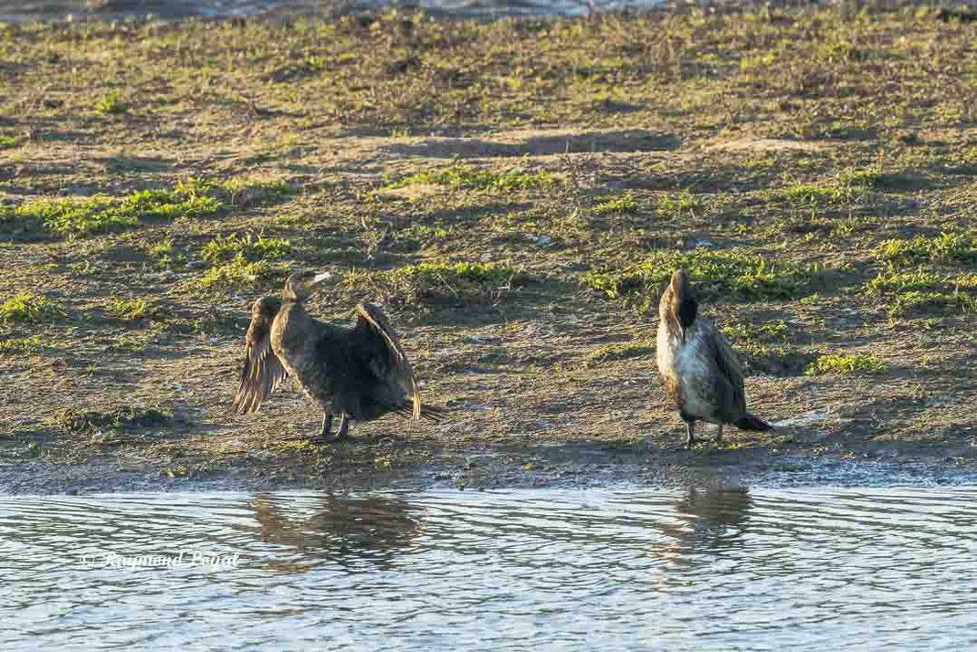 kormoran trocknet gefieder am wasser