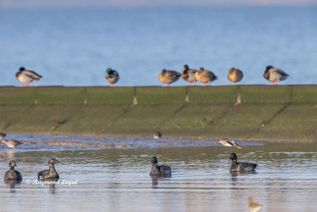 ringelgans vogel schwimmt im flachwasser
