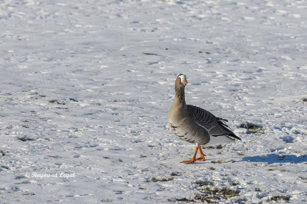 lesser white-fronted goose standing on snow field