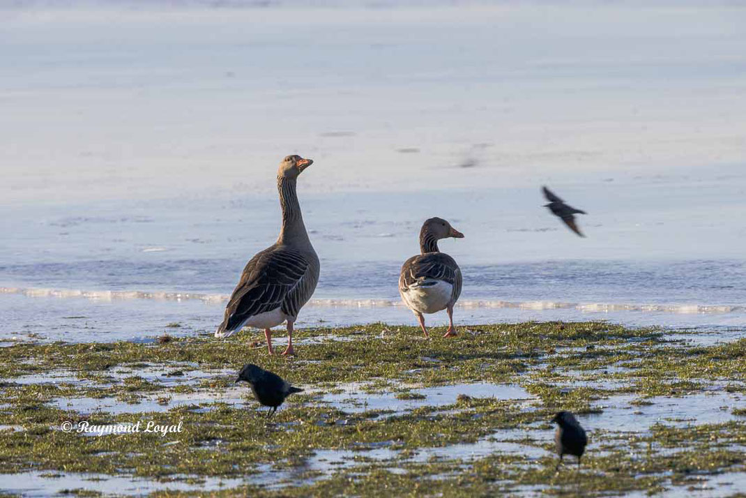 greylag goose standing on greeland
