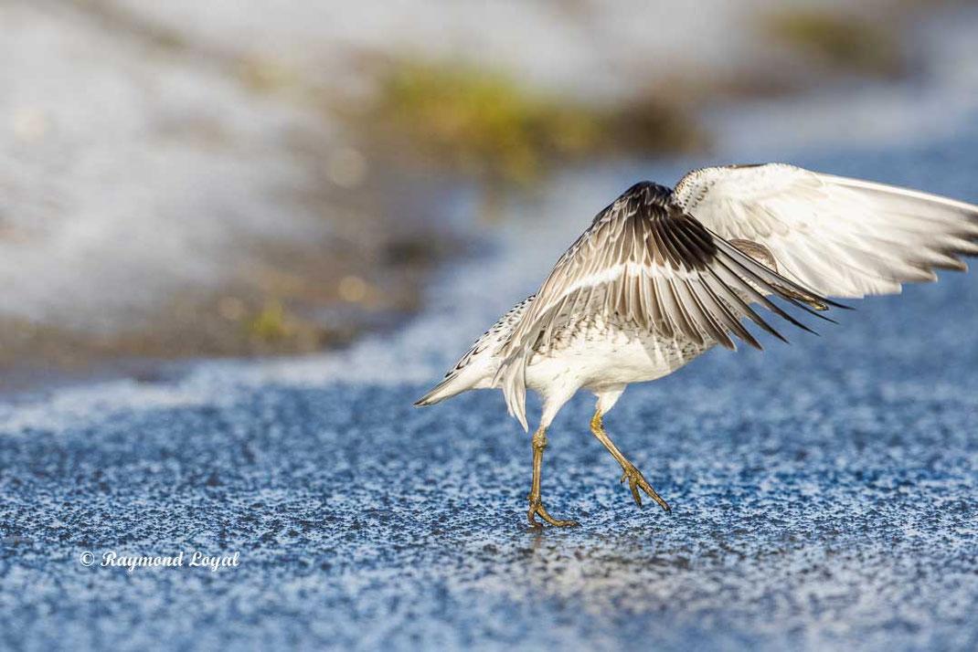 knutt vogel stehen auf eisflaeche mit geoeffneten fluegeln