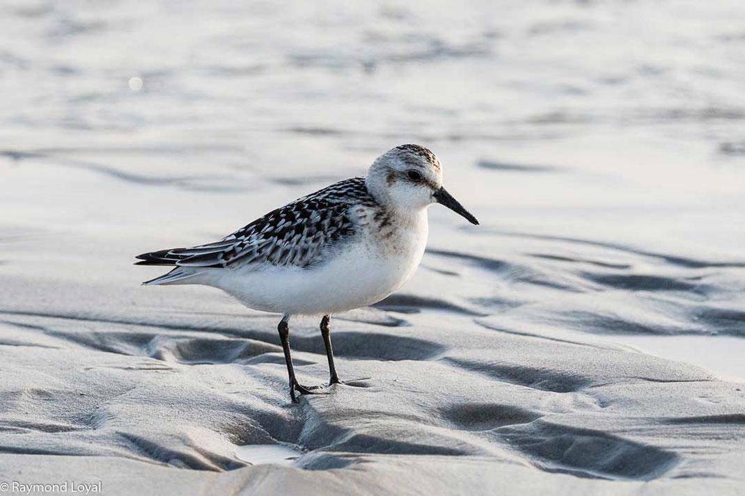 sanderling vogel wattenmeer