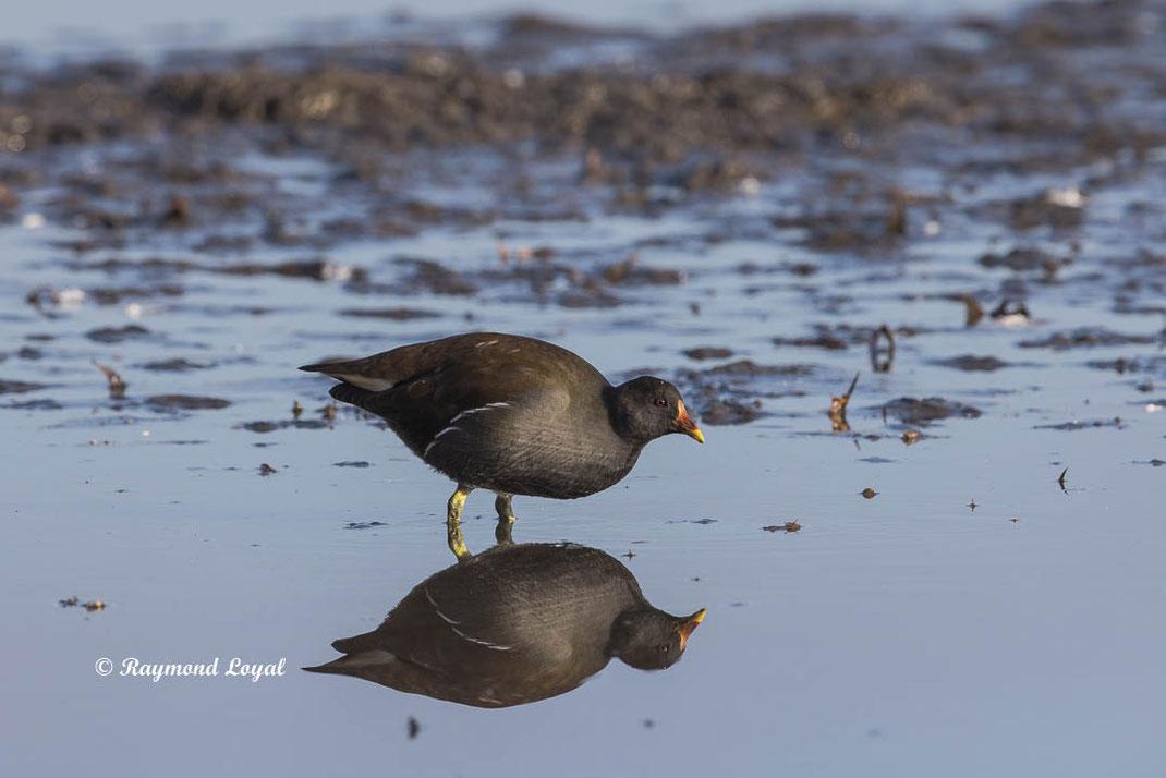 teichralle vogel wasser spiegelung