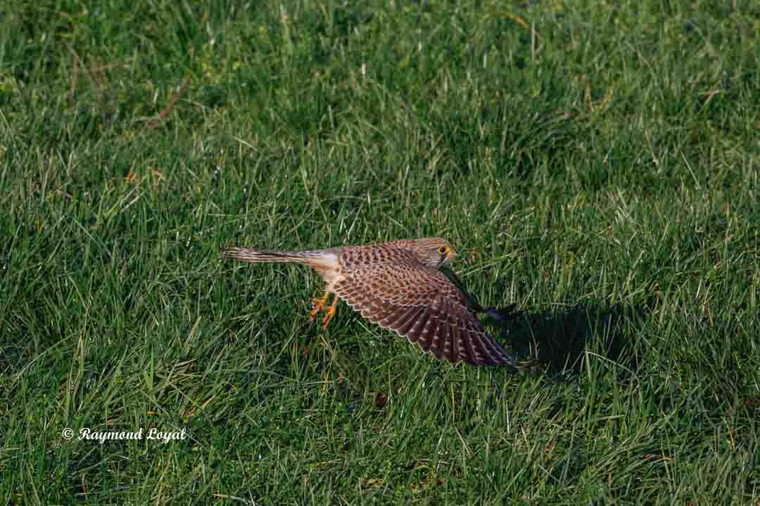 turmfalke falke vogel flug wiese