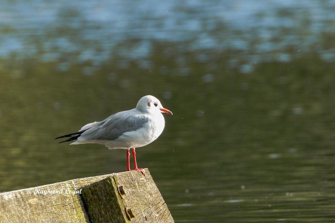 lachmoewe vogel sitzen