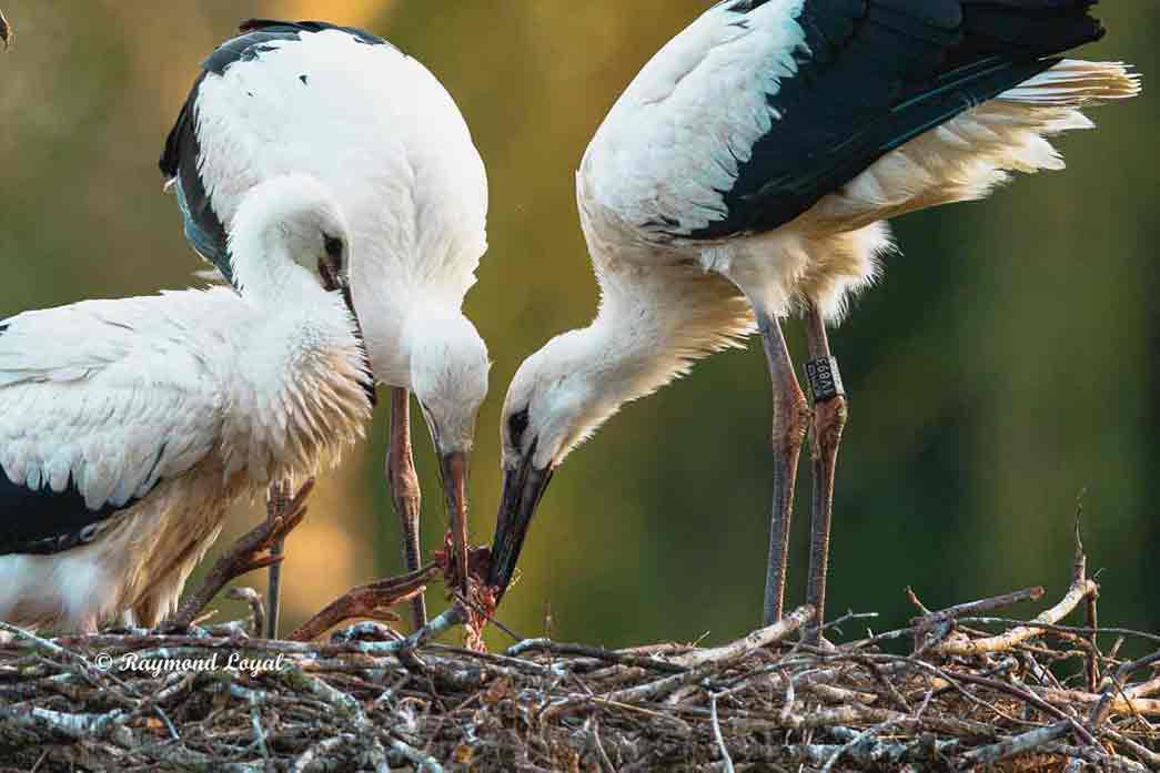 weiss storch jungvoegel fuetterung nest
