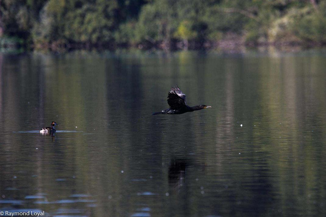 kormoran phalacrocorax carbo flug wasser