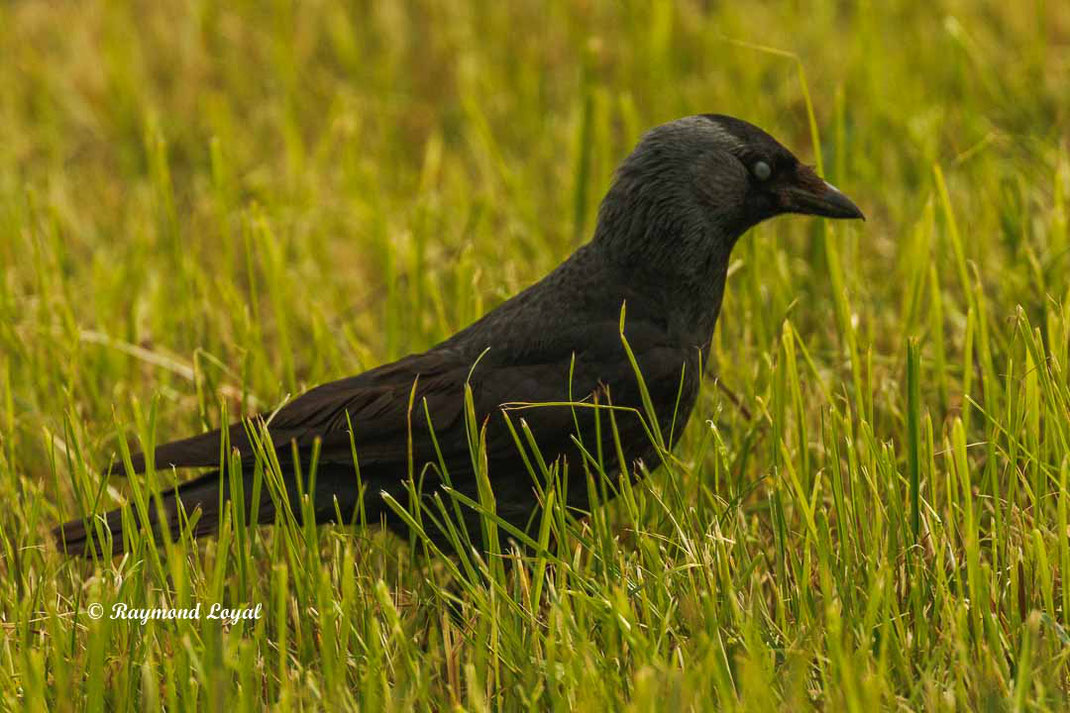 dohle vogel corvus monedula