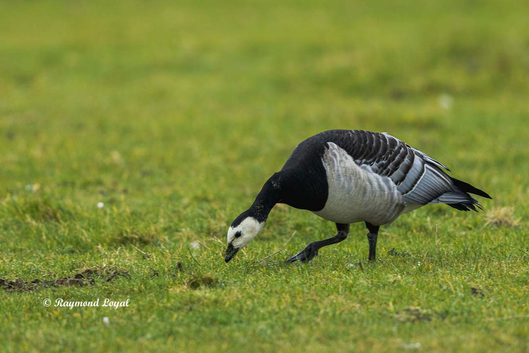 barnacle goose feeding on greenlands