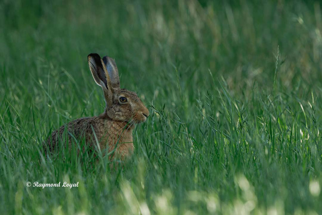 european hare sitting in green grass
