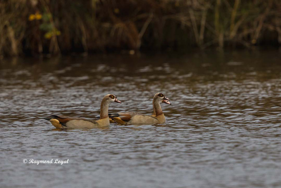 egyptian goose alopochen aegyptiacus birds swimming on water