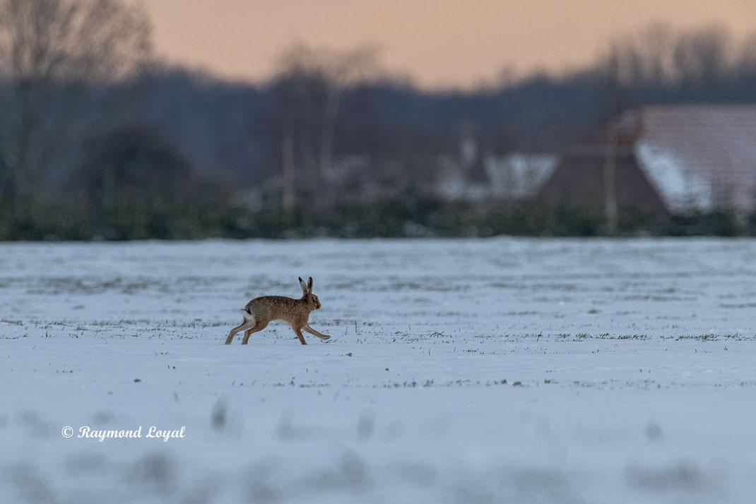 european hare on snow field