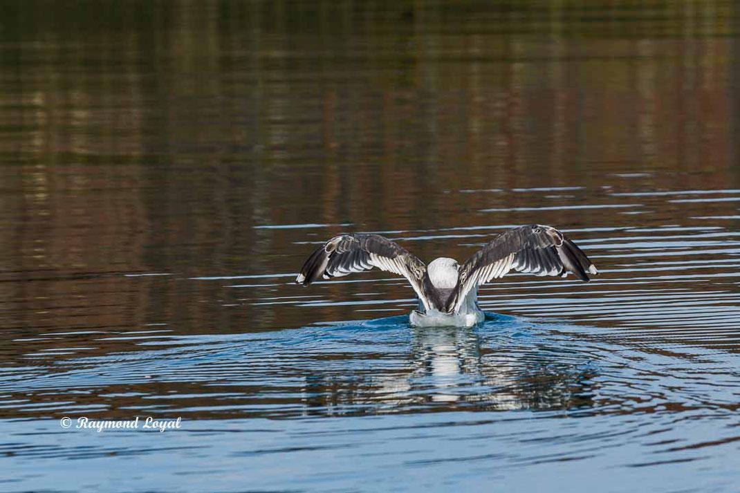 mantelmoewe vogel wasser schwimmen