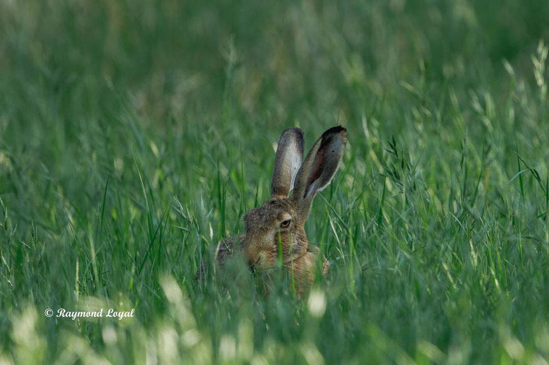 european hare in green grass