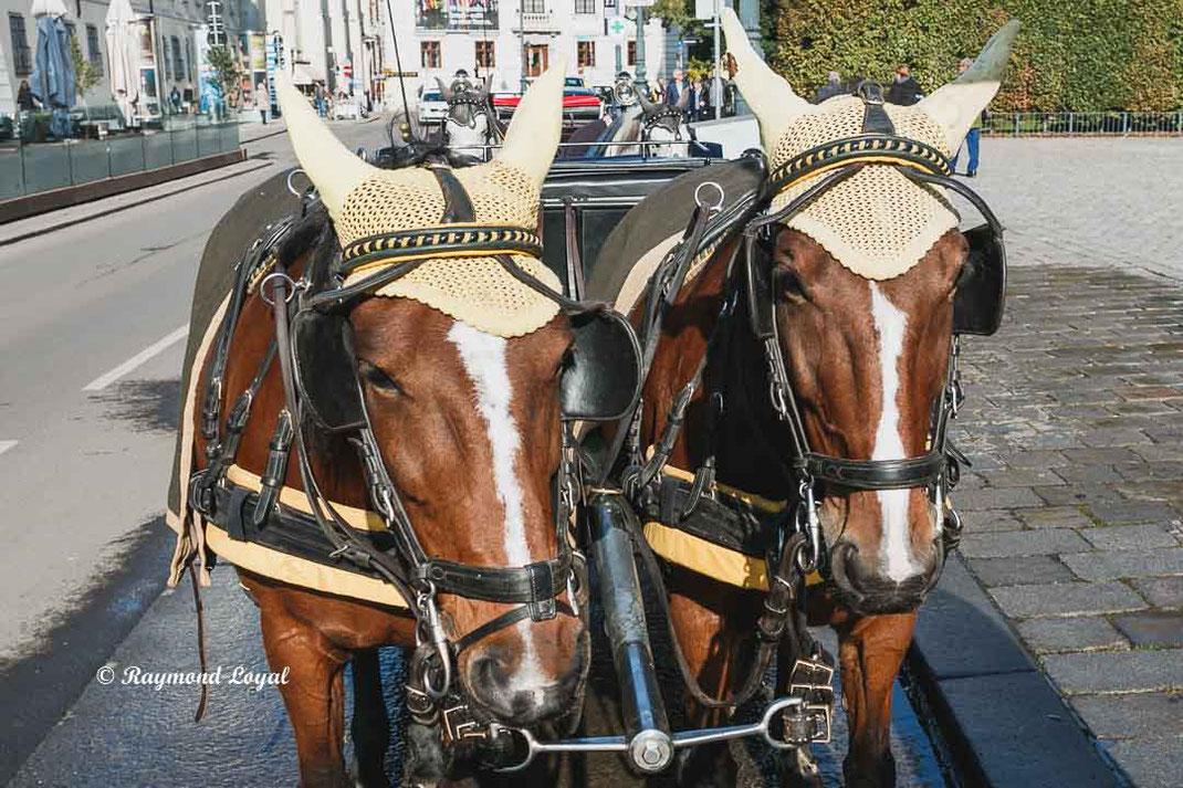 vienna fiaker draught horses