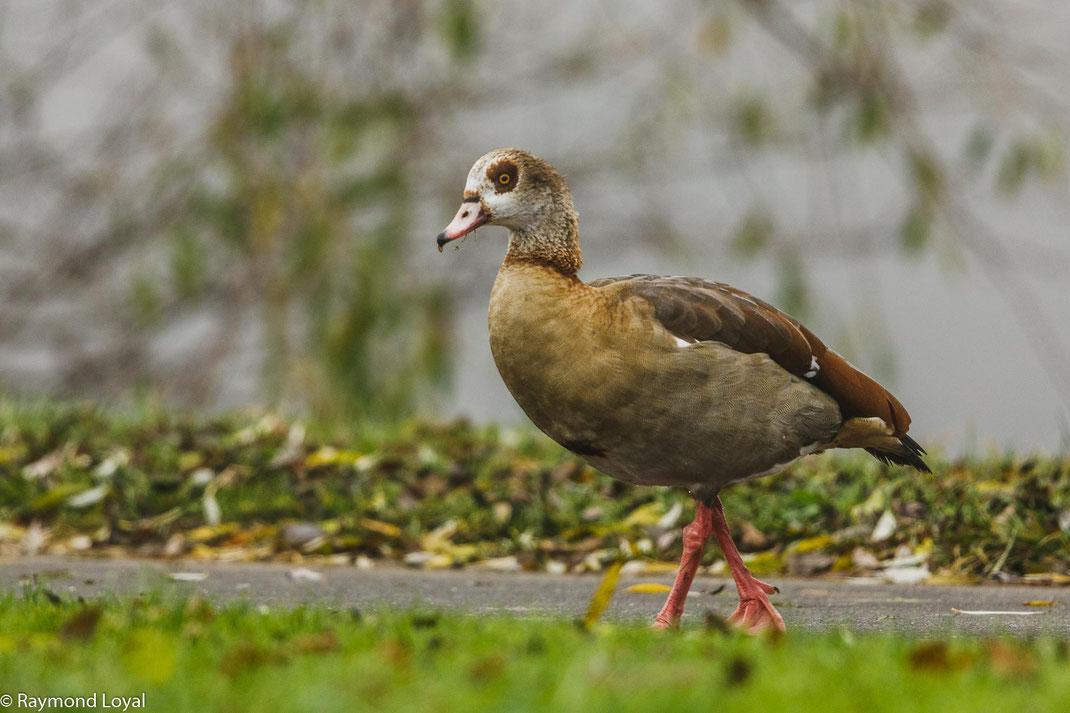 aegyptian goose alopochen aegyptiacus